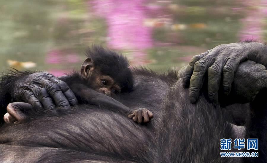 你敢睡猩猩的窝吗?研究称黑猩猩的床比人类的都干净