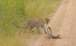 狭路对决!赞比亚巨蜥与幼豹殊死搏斗终不敌