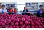 台湾香蕉菠萝价格大跌 学者:火龙果不会那么严重