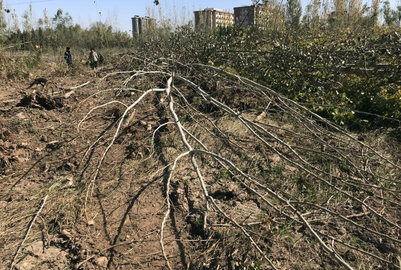 农民多棵树被毁坏 洛阳村委会:施工队搞错了
