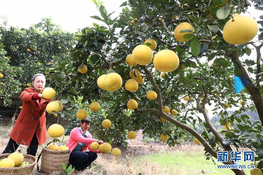 10月29日,重庆梁平区合兴镇龙滩柚子专业合作社的农民在采摘柚子。  新华社发(刘辉 摄)