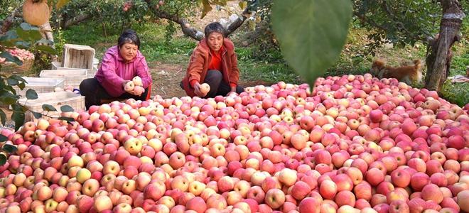 山東沂源:金秋蘋果紅